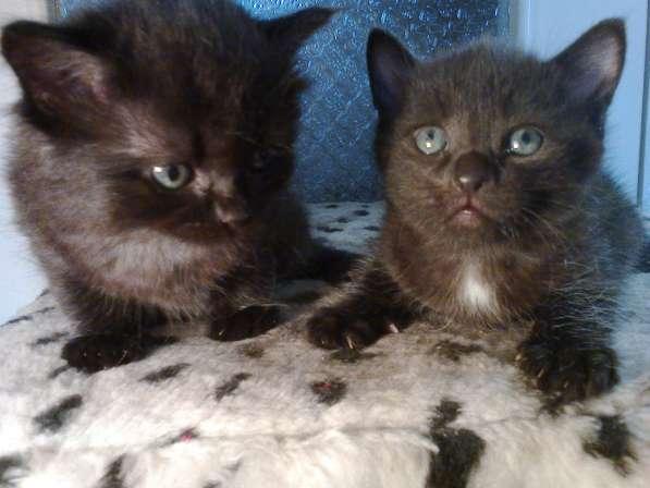 Подарю милых черных котят