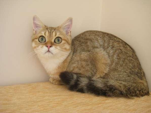 Золотой пятнистый котик Ursik из питомника
