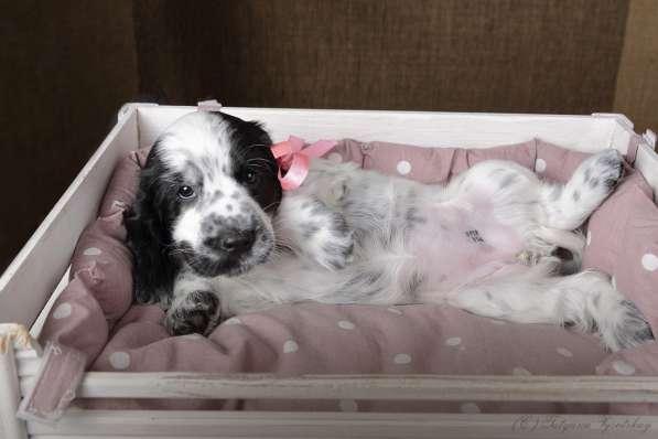 Чудесные щенки английского кокер-спаниеля ждут вас в Перми фото 8