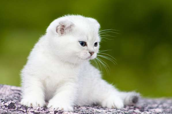 Шотландские котята -удачный выбор
