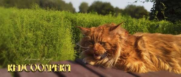 Котёнок менй кун красный солид. Шоу класс в Перми фото 3