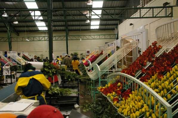 Цветы напрямую от плантаций Эквадора от 1 коробки в Москве фото 19
