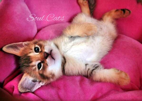 Чаузи F1 питомника Soul. Cats!