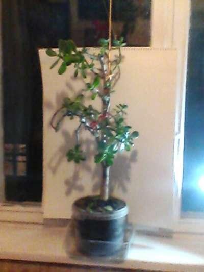 Дденежное дерево