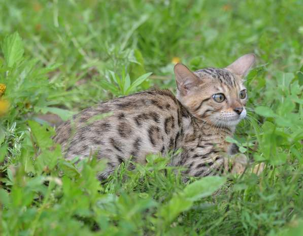 Бенгальсике котята в Нижнем Новгороде фото 4