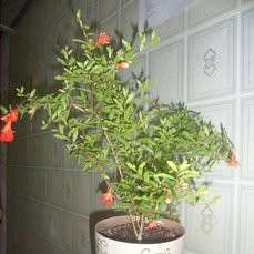 Домашний гранат или гранатовое дерево