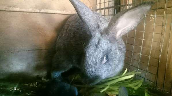 Крольчата-серебро, ризены