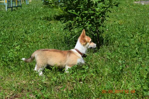 Вельш корги пемброк щенки в Смоленске фото 12