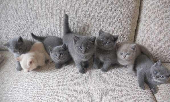 Шотландские котята скоттиш фолд