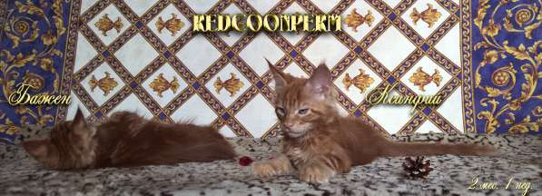 Котёнок менй кун красный солид. Шоу класс в Перми фото 10