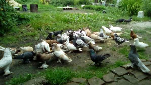 Голуби. Узбеки, птица гонная с игрой, есть почтари