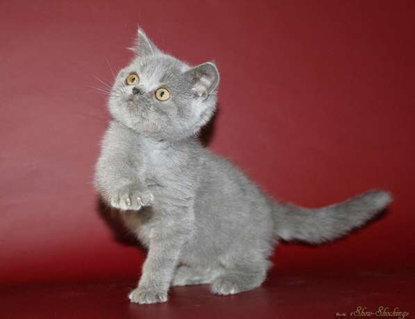 Британские котята, окрас голубой, шоколадный