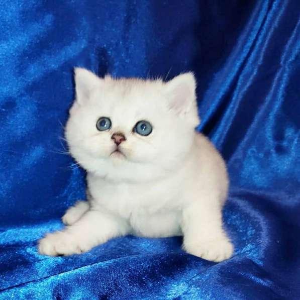Шотландские котята в фото 3