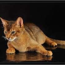 Абиссинский кот вязка Питомник Sunny Bunny, в г.Кобрин