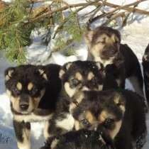 Продаются щенки САО(алабаи),от отарников Таджикистана, в Владимире