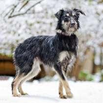 Красавица Зося, молодая домашняя собачка породы терьер в дар, в г.Москва