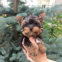 Мальчуган, щенок йоркширского терьера от Ирлайн-дог(мини), в г.Екатеринбург