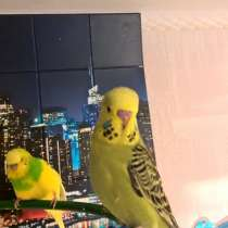 Волнистые попугаи -Птенцы Чехи, в Москве