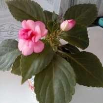 Продам бальзамин розовый махровый, в г.Караганда