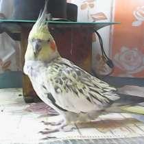 Попугай карел, мальчик, в г.Баку