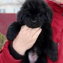 Сладкая девочка породы ньюфаундленд ищет дом и семью, в г.Днепропетровск