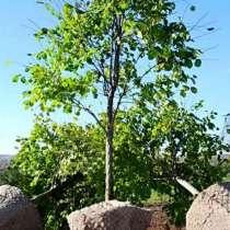 Крупномеры деревья, поставка, доставка, посадка, в Краснодаре