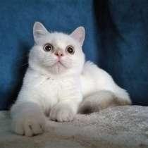 Шикарный шотландский котик, в Казани