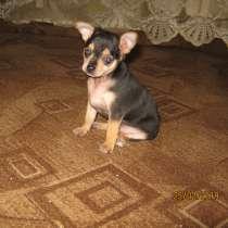 Продам щенка той - терьер, мини, в г.Полтава