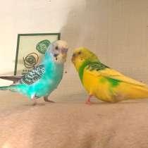 Волнистые попугаи -Самцы от Заводчика, в Мытищи