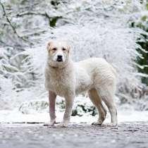 Роскошная Лана,собачка-подросток породы алабай в добрые руки, в г.Москва