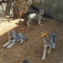 Чехословацкая волчья собака, щенки, в Калуге