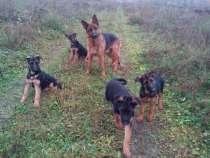 Чепрачные щенки немецкой овчарки, в Владимире