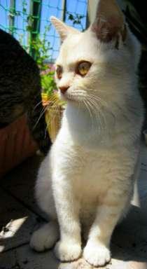Котёнок шотландец крем - мрамор 3.5 мес, в Сочи