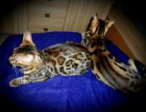 Очень красивые бенгальские котята, в г.Минск