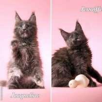 Мейн кун котята от большого международно, в Казани