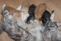 Продаются котята, Курильского бобтейла!, в Санкт-Петербурге