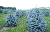 Голубая ель, мемена туи, горная сосна семена, в Санкт-Петербурге