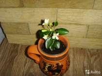 Муррайя цветущая, в Анапе