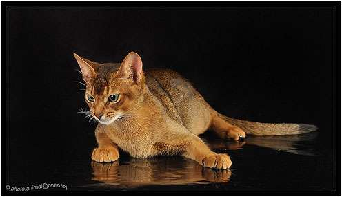 Абиссинский кот вязка Питомник Sunny Bunny