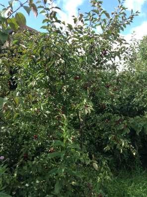 Саженцы яблони сибирской, клена, ясеня, сирени в Екатеринбурге Фото 1