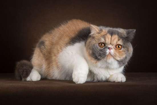 Котяты экзоты для разведения