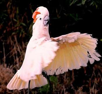 Попугай Молукский Какаду
