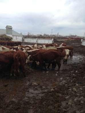 Коровы породы герефорд глубокой стельности
