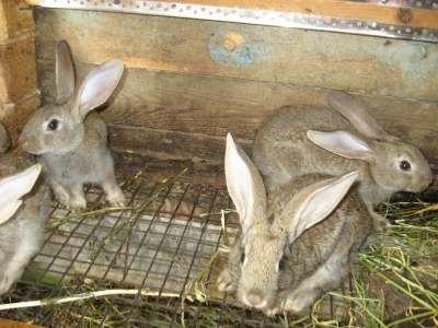 кролики мясной породы в Омске Фото 2