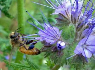 Семена медоносных растений в розницу в Иркутске Фото 1