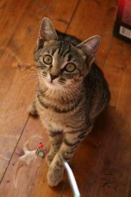 Отдам даром Жизнерадостная котенок Анфиса яркая тигр в Москве Фото 1