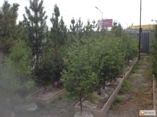 Кедр, ель, сосна, пихта, лиственница в Новосибирске Фото 3