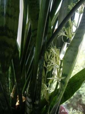 Сансевиерия (щучий хвост),80-90см