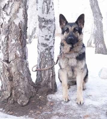 Продам щенков Восточно европейской овчарки в Омске Фото 1