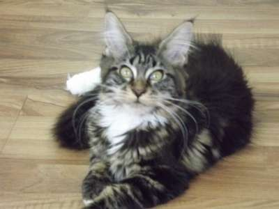 Котята мейн-кун для Вас!